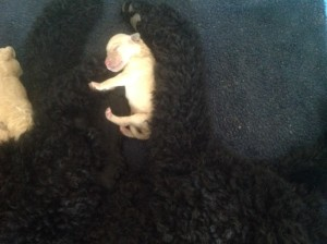 Tiny standard poodle runt of the litter