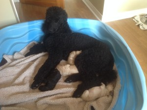 Black Standard Poodle Mother Claire. Feeding her puppies their second breakfast.  One by one they drop off.
