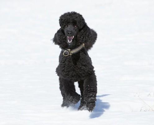 Claire de Lune running through the snow
