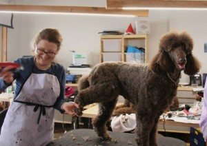 Callie chocolate standard poodle being groomed