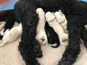 Purebread champion standard poodle puppies in black and cream 2019