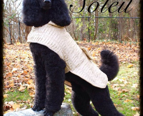 Claire the black standard poodle in a lovely taupe sweater