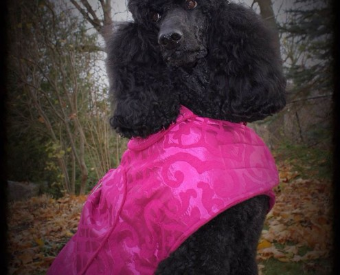 Claire the black standard poodle modeling a gorgeous pink satin coat