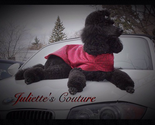 Claire the black standard poodle lounging in her fine pink coat