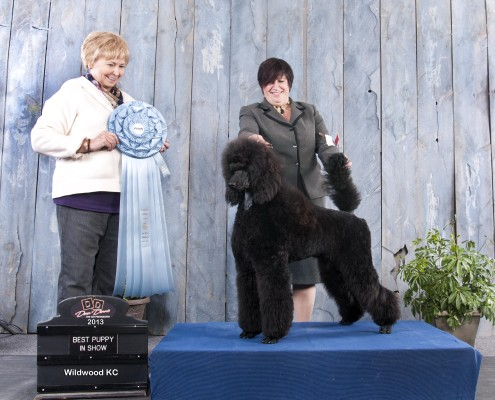 black standard poodle winning a prize