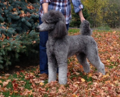 silver standard poodle