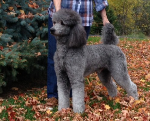 A silver standard poodle
