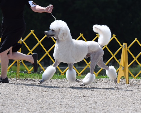 Standard Poodle Champion Male for Breeding