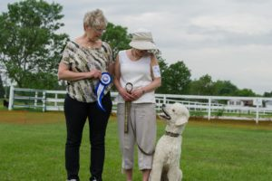 Rudi the cream coloured standard poodle getting his championship