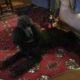 Black standard Poodle Puppies Elan Poodles